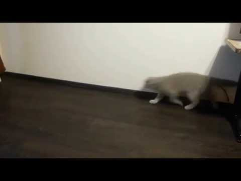 cat and ball game of osculation, video May 2014 super